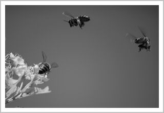 Bees flying to a flower